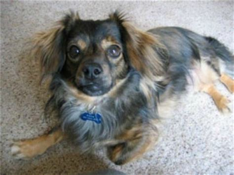 pomeranian and dachshund mix dachshund pomeranian mix photos thriftyfun