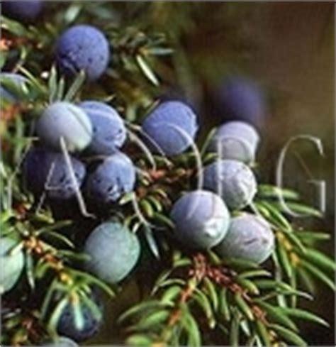 Jen Organic 10ml Juniper Berry Essential Ecocert Certified juniper berry essential juniper communis bulgarian otto