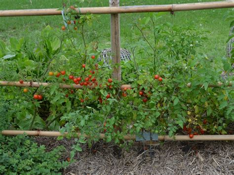 How To Maintain A Vegetable Garden 100 Tomato Plant Maintenance In My Small Kitchen Garden
