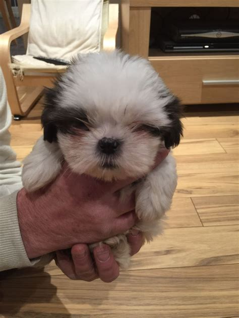 shih tzu for sale manchester 2 shih tzu pups for sale manchester greater