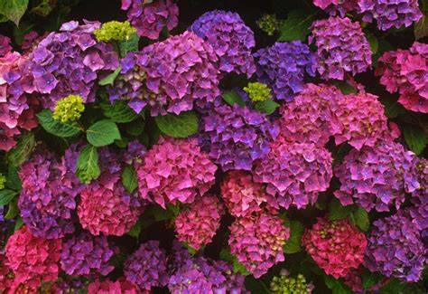 imagenes flores hortensias jardim de hort 234 nsias