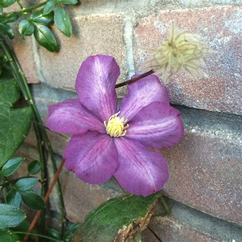 identification what variety of clematis is this gardening landscaping stack exchange