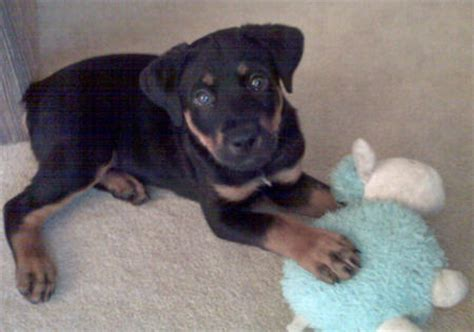 rottweiler pekingese mix atticus the rottweiler mix puppies daily puppy