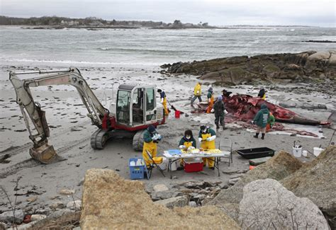 a pungent odor filled the room volunteers take on task of dissecting 7 ton minke whale on biddeford portland