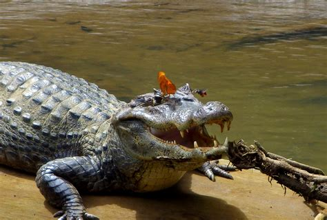 why butterflies bees drink crocodile tears national