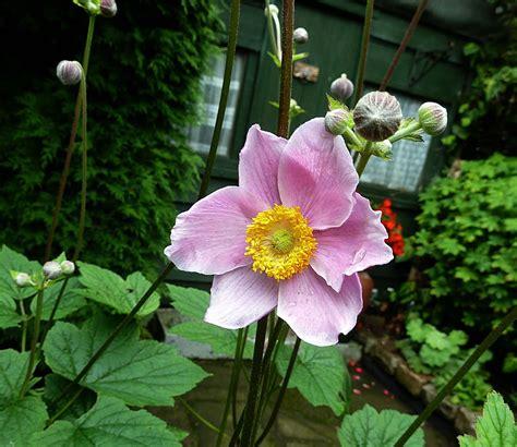 japanese anemone honorine jobert