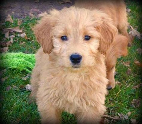 mini goldendoodle how big do they get goldendoodle dogs puppys and so