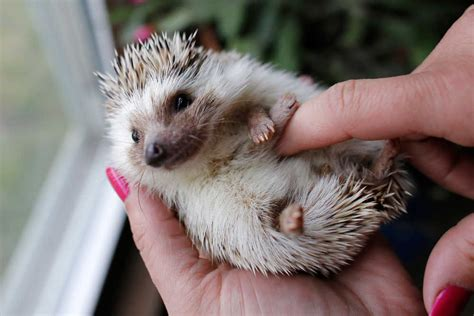 prickly cute hedgehogs finding homes as pets lubbock online lubbock avalanche journal