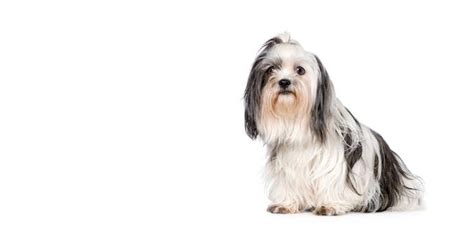 shih tzu and allergy sufferers shih tzu breed information noah s dogs
