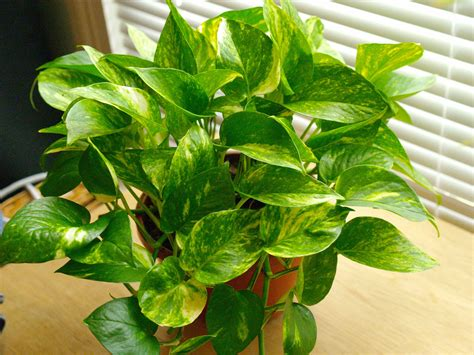 best houseplants for clean air top 10 indoor plants that clean air