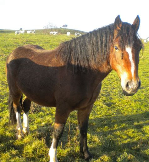 welsh cob section d welsh cob section d mare 9 yrs 14 2hh brecon powys