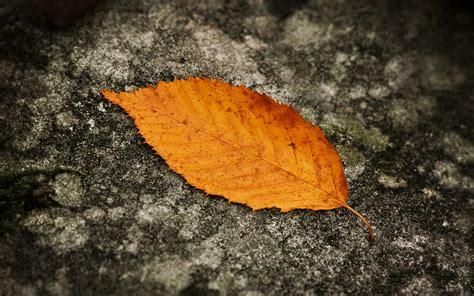 wallpaper daun gugur daun jatuh wallpaper musim gugur alam alam wallpaper