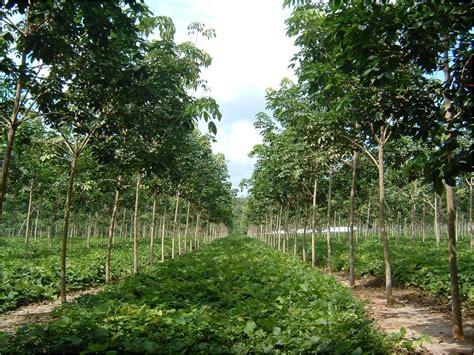 Bibit Lada Perdu Di Medan rubber tree amazing indonesia