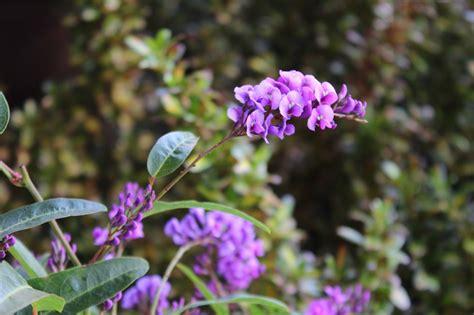 lilac climbing plant lilac vine hardenbergia of green gardens