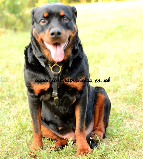 harness for rottweiler rottweiler harness uk top quality harness for rottweiler