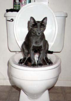 cats pooping in the bathtub how to toilet train your cat