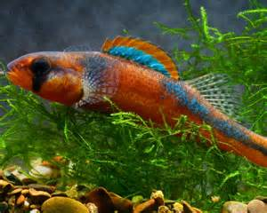 freshwater fish exotic freshwater fish some rare native freshwater fish