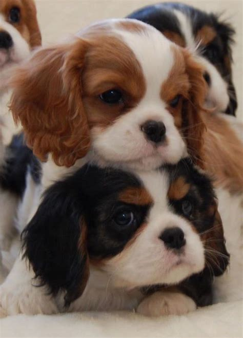 cavalier spaniel puppies baby cavalier king charles spaniel puppies breeder chadwick cavalier king charles