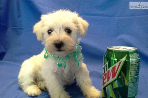 schnoodle puppies az schnoodle puppy for sale near arizona 061eeb90 3f41
