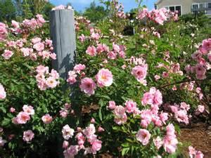 hardy roses from der rosenmeister