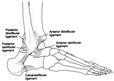 ligaments diagram shin peak physical therapy