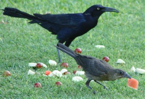 mama and baby grackle eating watermelon birds who visit