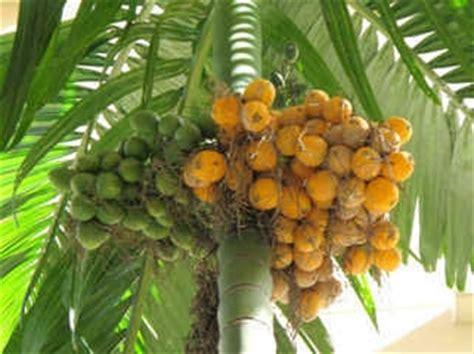 Bibit Kelapa Hibrida Thailand betel nut palm cau fruits