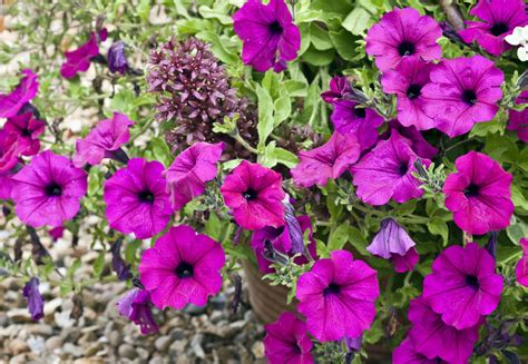 annual plants vs perennials and how to use them