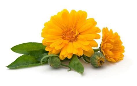 fiori gialli estivi fiori estivi bulbi bulbi di fiori estivi