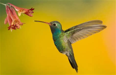 hummingbirds are the only birds who can fly backwards