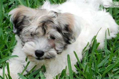 havanese puppies for sale houston havanese puppy for sale near houston f6bfe449 8b61