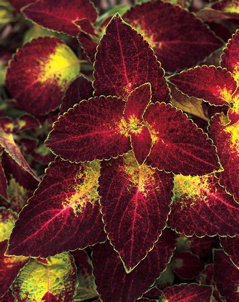 sun foliage plants colorblaze 174 dipt in wine coleus solenostemon