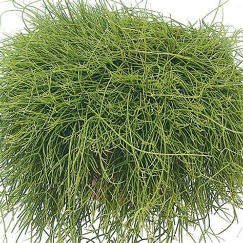 engelshaar pflanze pin by prinsesa yen yen on succulent