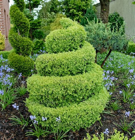 image common boxwood buxus sempervirens arborescens with spiral shape 471369 images and