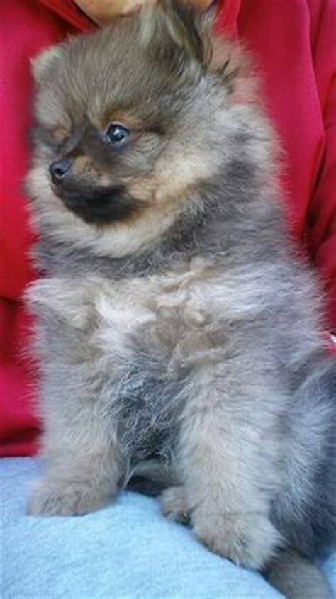 9 week pomeranian wolf pomeranian looks like my pets pomeranians
