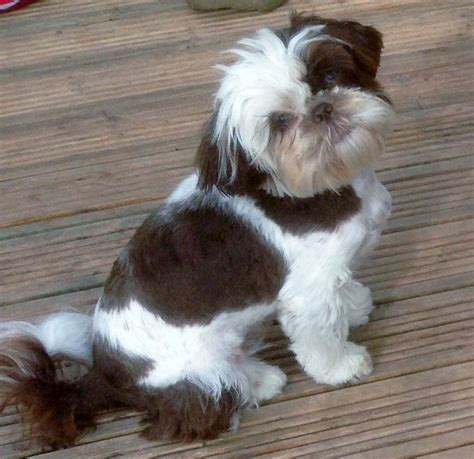 imperial shih tzu half imperial shih tzu scarborough pets4homes