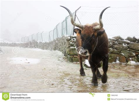Bull Rage Raging Bull Stock Photography Image 13852492