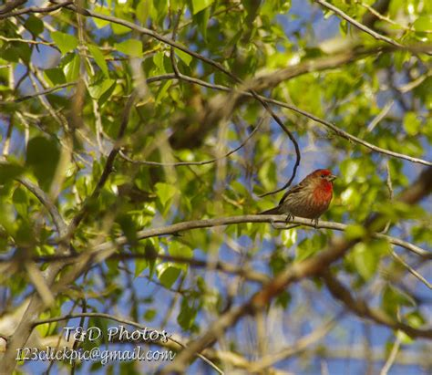 common house finch colorado photos common house finch