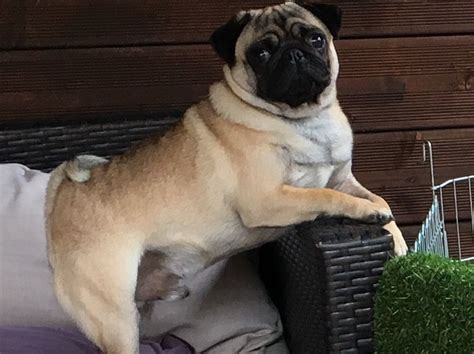 apricot fawn pug kc health tested apricot fawn pug for stud stevenage hertfordshire pets4homes