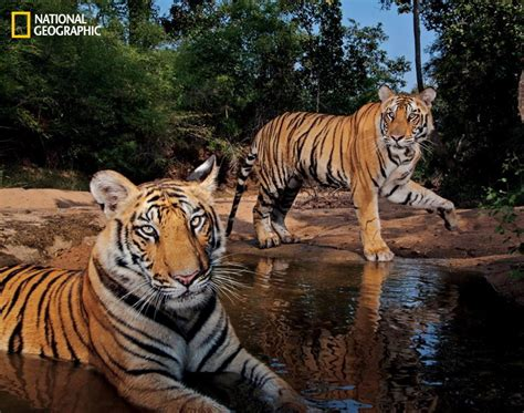 httpwww nationalgeographic com125the new age of exploration bandhavgarh national park india in 2011 photos