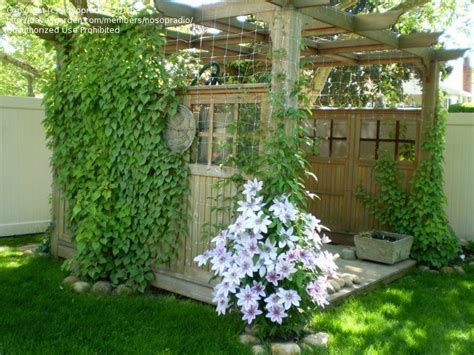 pergola climbing plants pergola with climbing hydrangea loving the outdoors