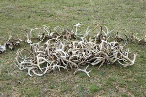 Buy Antler Sheds by Shed Antler Tips And Strategy Everything Shed