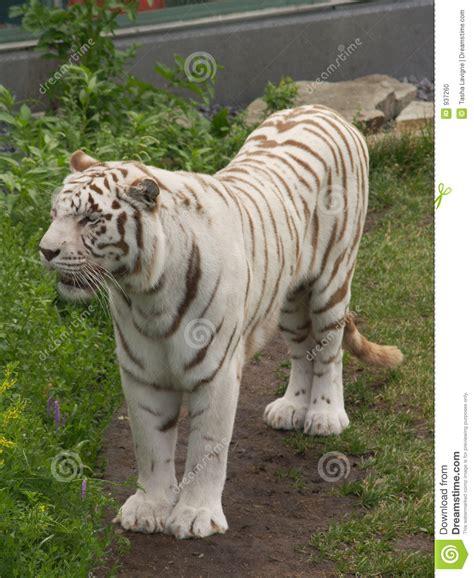 imagenes tigre blanco bengala tigre de bengala blanco foto de archivo imagen 937260