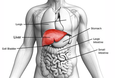 Web Md Liver Detox by Pictures Guide To Liver Cancer