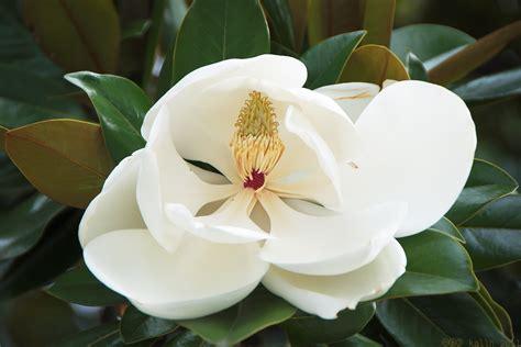 imagenes de magnolias blancas magnolias