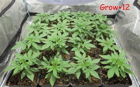 Comment Planter Du Cannabis En Intã Rieur Culture De Graines De Cannabis R 233 Guli 232 Res En Int 233 Rieur