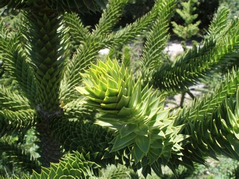 monkey puzzle the garden of eaden march 2012
