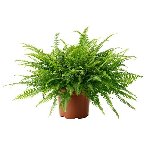 boston fern indoor plant in the white pot stunning indoor plants nephrolepis potted plant boston fern