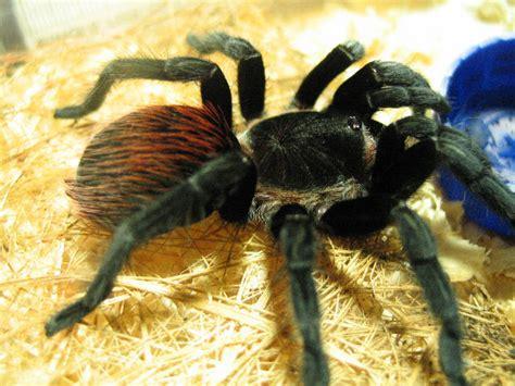 Tarantula B Vagans brachypelma vagans