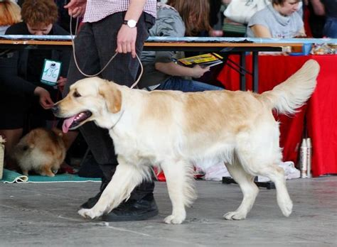 westminster golden retriever 2016 golden retriever show 5 cool facts about golden retrievers